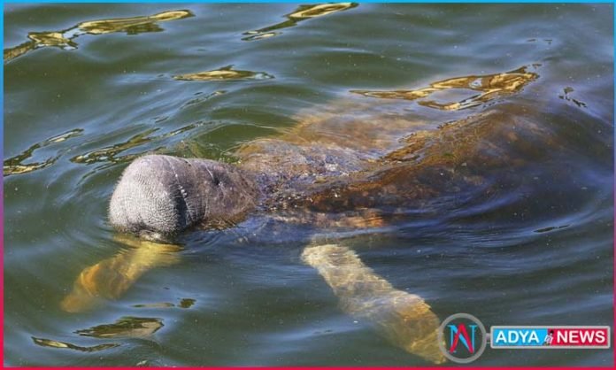 wildlife officials find trumps name written on florida manatee
