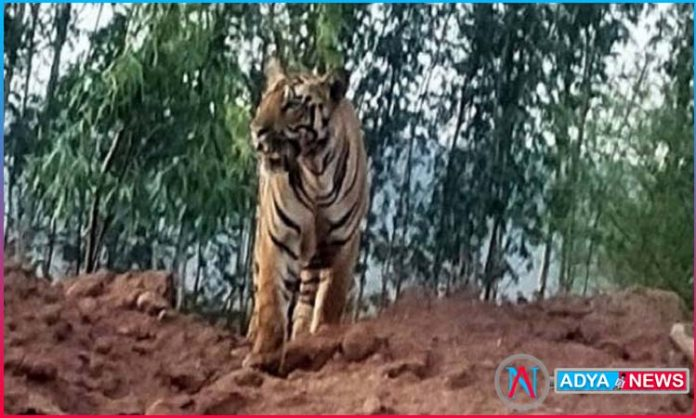 tiger kills two tribes as hunt continues