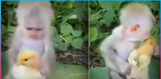 Monkey Playing with Chick