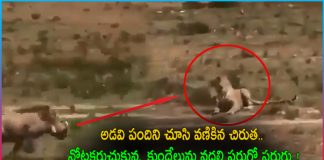Leopard hunting Rabbit and wild boar came to save