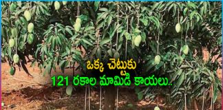 One mango tree with 121 varieties of the fruit