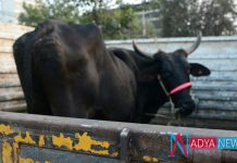 Jammu and Kashmir Cops Arrested Three Men For Transporting Cattle Illegally